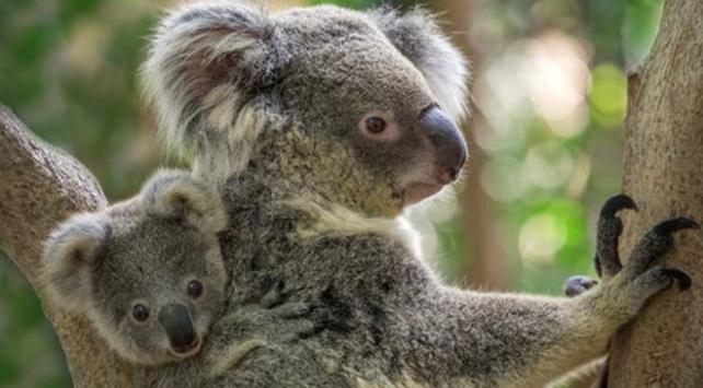 Avustralyadaki orman yangınında yüzlerce koalanın öldüğü sanılıyor