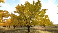 Kayısı bahçelerinde masalsı sonbahar