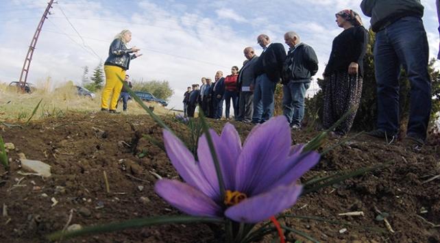 Mucize bitki safran soğanı Çubukta üretilmeye başlandı