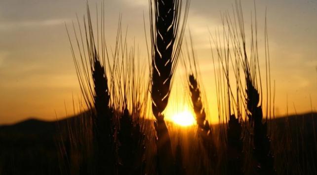 Buğdayda 21,5 milyon ton üretim hedefi