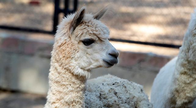 Hayvan Parkının yeni misafirleri: Alpaka ve Koati