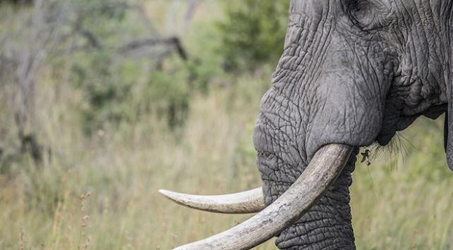 Zimbabvede 200 fil su ve yiyecek bulamadığı için telef oldu