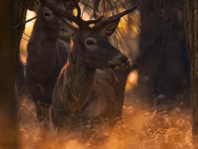 Koruma altında olan kızıl geyikler görüntülendi