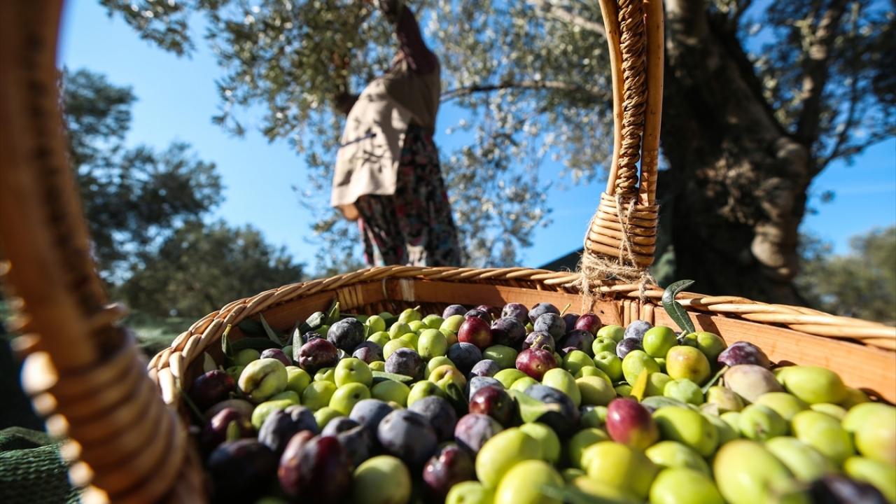 Erken hasat zeytinlerin yağ olma hikayesi başladı