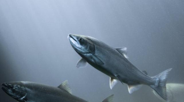 Antidepresan ilaçlar balıkları da sakinleştiriyor