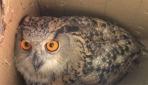 Eve giren puhu kuşunu itfaiye ekipleri yakaladı