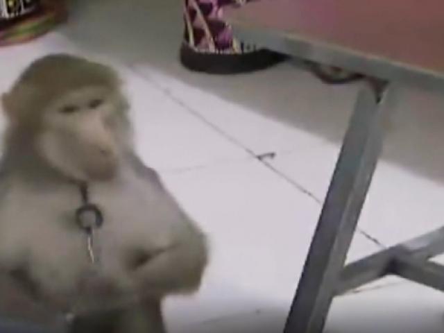 Çin'de maymun, bakıcısının telefonundan sipariş verdi