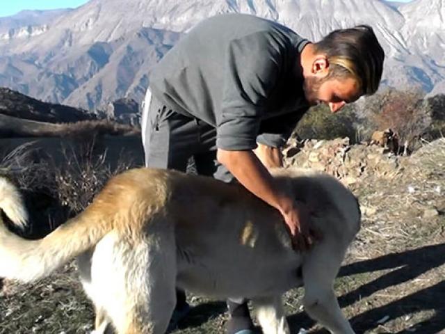 Ayı saldırısına uğrayan çobanı köpekleri kurtardı