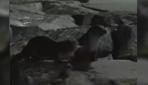 Su samurları Yenikapı ve Zeytinburnu sahillerinde görüntülendi