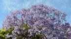 Sydneyi süsleyen mor güzellik: Jakaranda Ağaçları