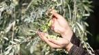 Ödüllü zeytinin ana vatanında yağa dönüşümü