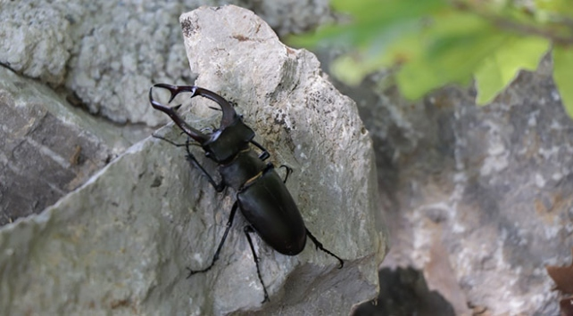 """Nadir görülen """"Geyik Böceği"""" Antalyada görüntülendi"""