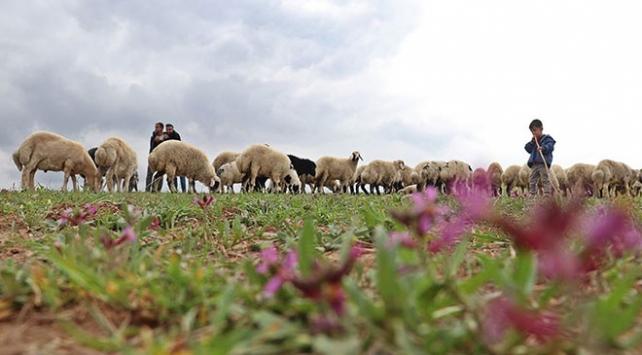 Çoban istihdamına 2 yılda 62 milyon lira destek