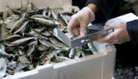 Yasal ölçülerin altında avlanmış 13 ton balığa el konuldu
