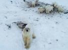 Rusya'da aç kutup ayıları yerleşim yerine indi