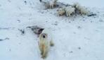 Rusyada aç kutup ayıları yerleşim yerine indi