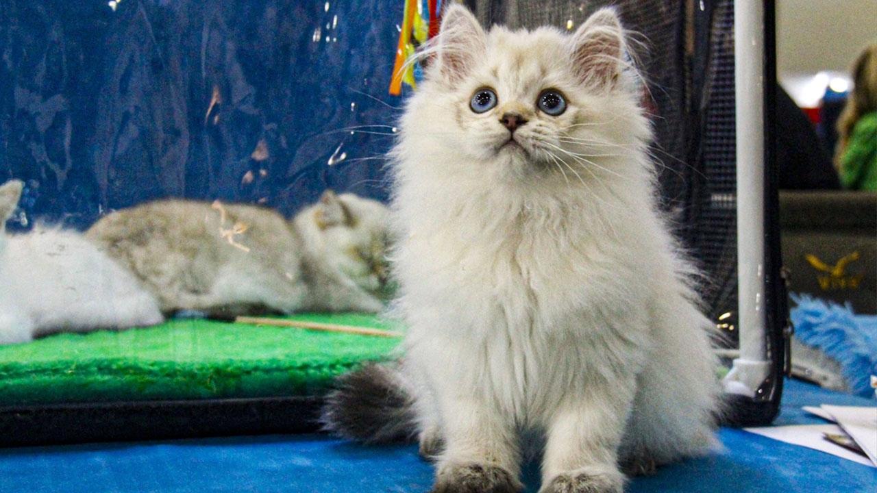 12 ülkeden 2 bin kedi Rusyadaki fuara katıldı