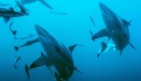 Okyanuslardaki oksijen azalıyor: Birçok tür tehdit altında