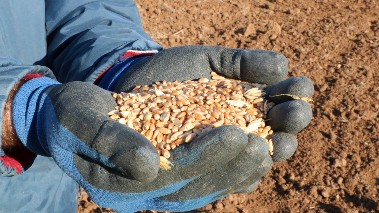 Çanakkalede yerli ve milli tohumlar toprakla buluşturuldu