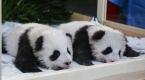 Berlinde dünyaya gelen ikiz pandaların isimleri belli oldu