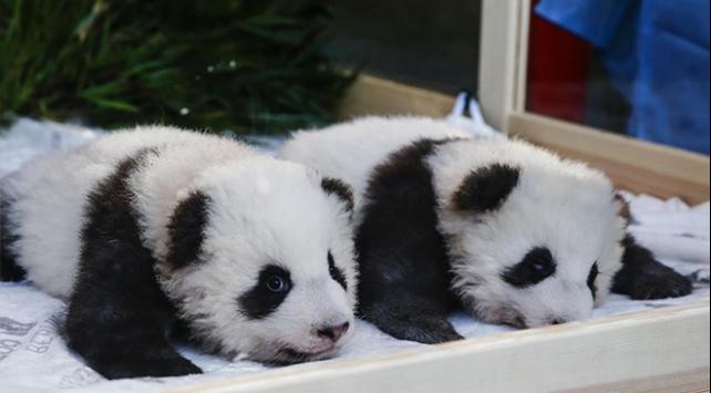 Berlinde 100 gün önce dünyaya gelen pandalara isimleri verildi