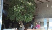 Marangoz atölyesinde asırlık zeytin ağacı