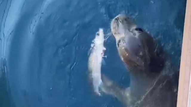 Koruma altındaki Akdeniz foku Kaş'ta görüldü