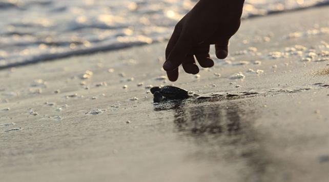 Türkiye'de bu yıl 537 bin yavru kaplumbağa denizle buluştu