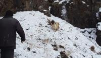 Keçisi kayalıklarda mahsur kalan besicinin yardımına AFAD yetişti