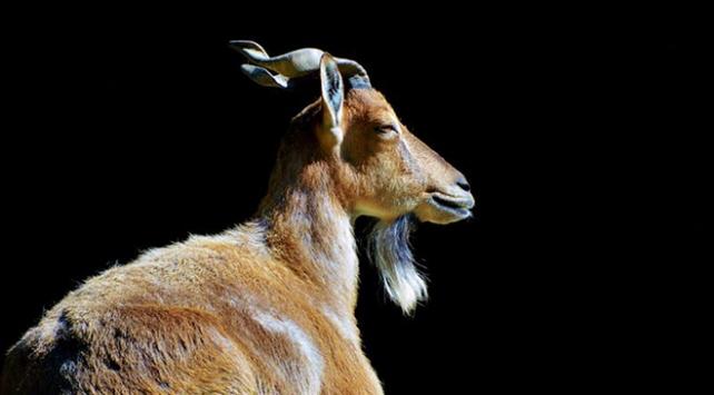 Pakistan 5 yaban keçisi avından 555 bin dolar kazandı