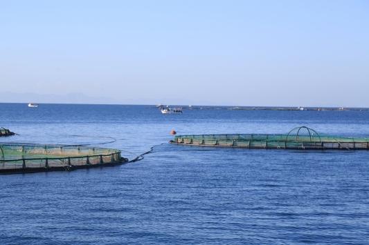 Muğlada üretilen balığın yüzde 50si Avrupaya ihraç ediliyor