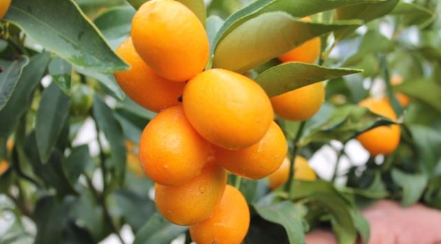 Tropikal meyveler üreticinin yüzünü güldürdü