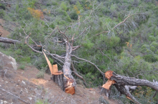 Mersinde ormanlık alanda ağaçların kesilmesine ilişkin bir şüpheli hakkında işlem yapıldı