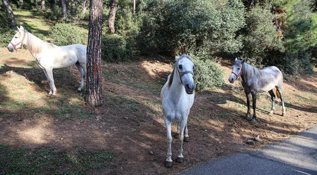Adalarda 105 at itlaf edildi, at sahipleri hakkında suç duyurusunda bulunuldu
