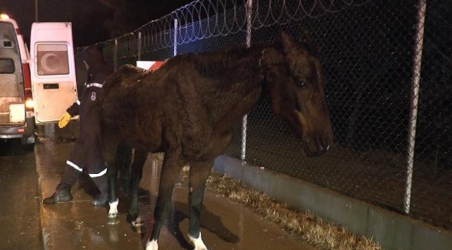 Yaralı at, duyarlı vatandaşın çabasıyla kurtarıldı