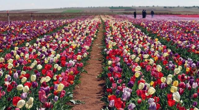 İhracatı yasak doğal çiçek soğanlarının türleri tespit edildi