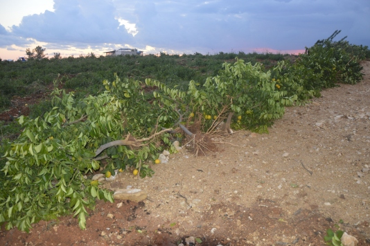Mersinde ormanlık alana dikilen 1600 limon ağacı söküldü