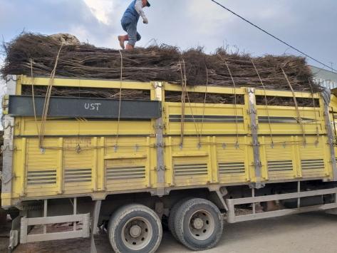 Bandırmada üretilen ceviz fidanlarından 5 milyonu ihraç edildi
