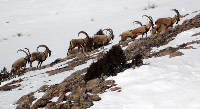 Niğdede dağ keçisi sayısı arttı