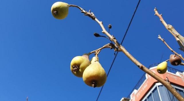 Osmaniyede armut ağacı ocak ayında meyve verdi