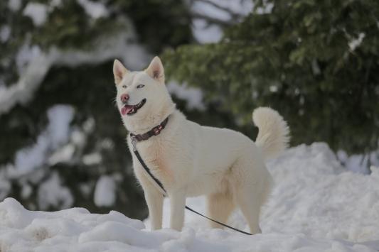 """Sibirya kurdu """"Fıstık""""ın ilk kar sevinci"""