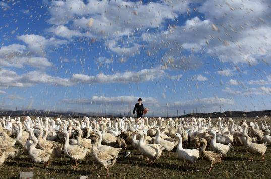 Vartoda kurduğu kaz çiftliğinde taleplere yetişemiyor