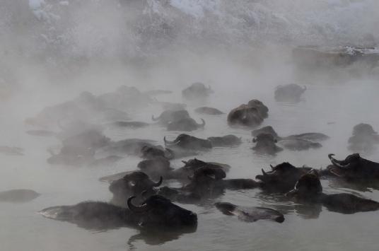 Bitliste dondurucu soğukta ahırdan çıkamayan mandalar kaplıcada yıkanıyor