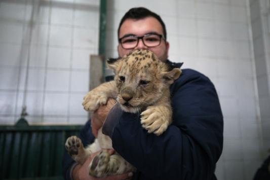 Kayseri Hayvanat Bahçesindeki aslan yavrularına özenle bakılıyor