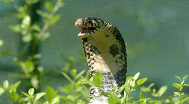 Malezya-Tayland sınırında kobra yılanı operasyonu