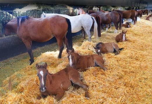 """Şampiyon atların yetiştirildiği TİGEM haralarında """"yeni doğum"""" heyecanı"""