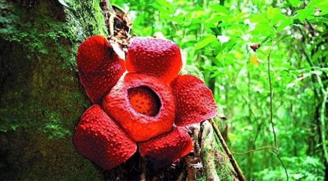 Dev çiçek Rafflesia yok olma tehlikesi ile karşı karşıya