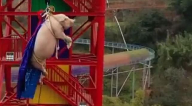 """Çinde domuza """"bungee jumping"""" yaptırdılar"""