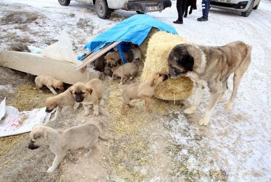 Yaylada ölüme terk edilen 26sı yavru 28 köpeğe Belediye sahip çıktı