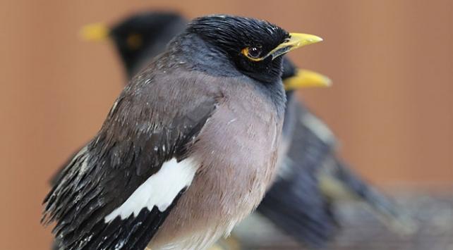 Vanda ticareti yasak 75 çiğdeci kuşu bulundu